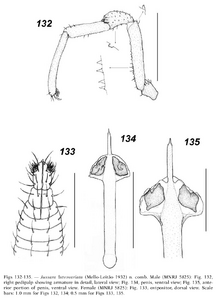 Jussara luteovariata 36