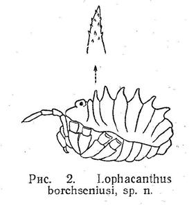Lophacanthus borchseniusi