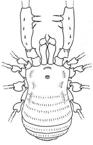Picunchenops dorsal
