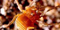 Paranonychinae