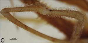 Forsteropsalis photophaga T+P-2014-C