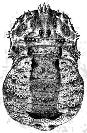 Odiellus spinosus male from Germany by Martens 1978