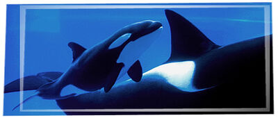 Masthead-killer-whale-01