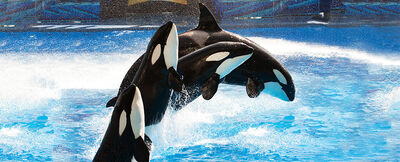 54751126c42c49d3abbc10e26d15c701 pic-sw-killer-whale-further-reading-03--940x380