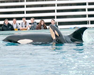 Killer Whale Kasatka Gives Birth SeaWorld xRMIhM95ryKl
