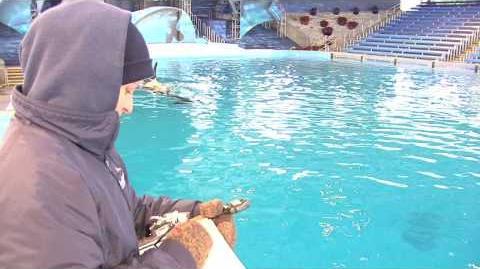 Killer Whale Calf Born at SeaWorld