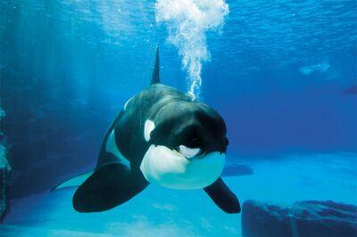 Killer-Whale3-1024x682