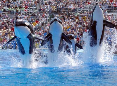 Shamu-Show-Courtesy-SeaWorld-San-Diego-opt