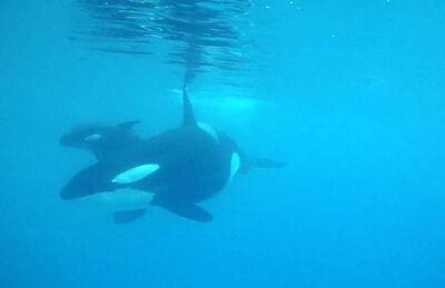 Baby Killerhwale born at SeaWorld San Antonio 7657f067-ba47-44b8-8436-4e613ed60396