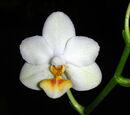 Phalaenopsis Kung's Lob Lawrence