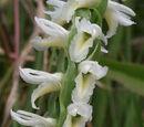 Spiranthes magnicamporum