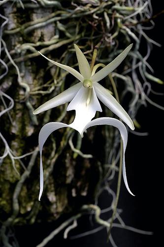 Dendrophylax Lindenii Orchids Wiki Fandom Powered By Wikia