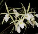 Brassavola flagellaris