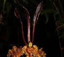 Psychopsis Mariposa