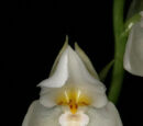 Cuitlauzina egertonii