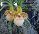 Paphiopedilum × fanaticum