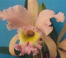 Cattleya Hermine