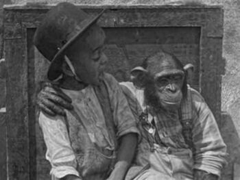 Cotton the Chimp