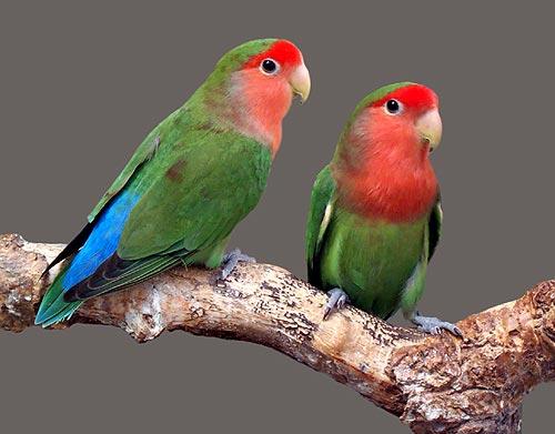 File:Lovebirds.jpg
