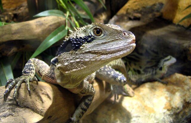 File:Brown lizard.jpg