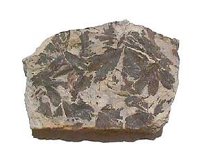 File:Fossil Plant Ginkgo.jpg