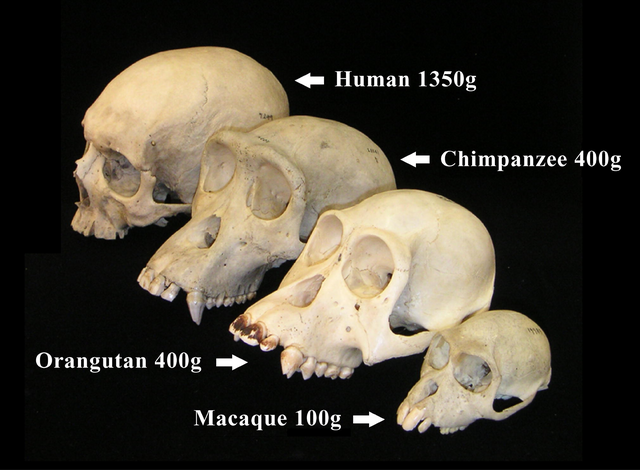 File:Primate skull series with legend.png