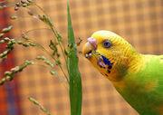Budgie eating millet-1-
