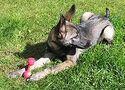 Havoc - Cecilia's Wolfdog