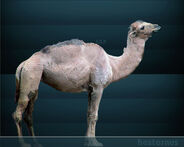 Camelus hesternus Sergiodlarosa