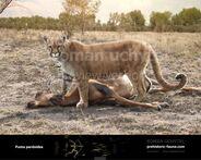 Puma pardoides