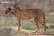 Asiatic-cheetah-Acinonyx-jubatus-venaticus