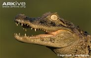 Broad-snouted-caiman