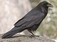 Common raven glamor