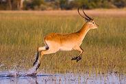 Red-Lechwe-Hunting