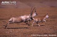 Two-male-Tibetan-antelopes-chasing-female