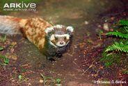 European-marbled-polecat
