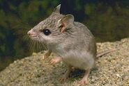 Short tailed grasshopper mouse animals