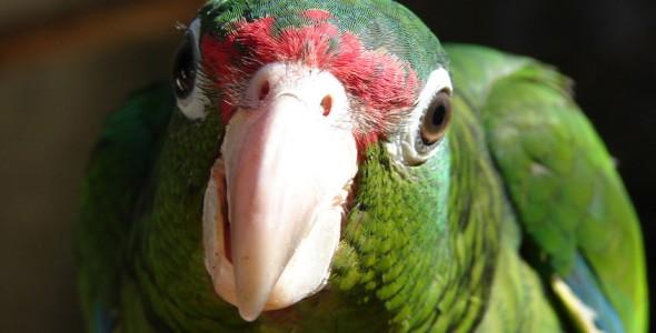 File:242px-Puerto Rican parrot.jpg