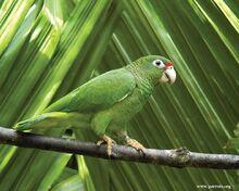 241px-Puerto Rican parrot