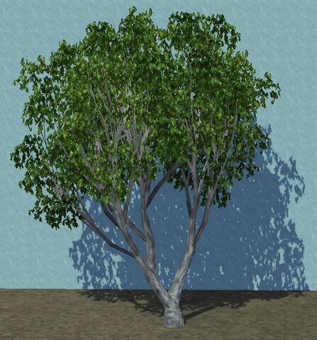 File:Olive2.jpg