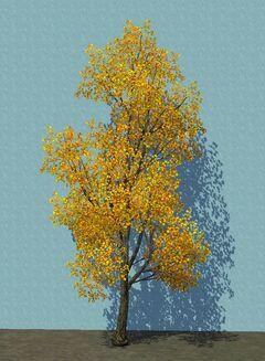 YellowCottonwood