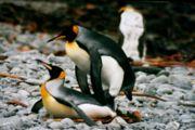 IMG 1247 mating king penguins