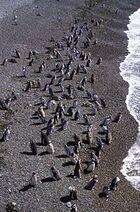 Magellanic Penguin (Spheniscus magellanicus) -Patagonia -coast2
