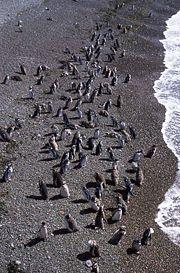 File:Magellanic Penguin (Spheniscus magellanicus) -Patagonia -coast2.jpg