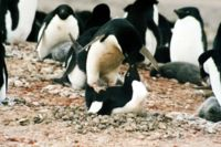 File:Mating adele.JPG