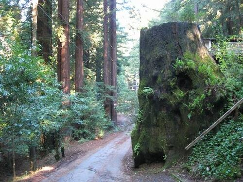Enormous Redwood stump