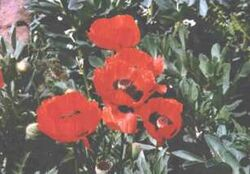 Poppiesbeans