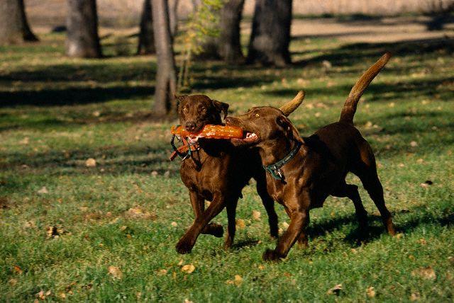 Archivo:Perros con mordedor.jpg