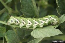 Crawl tomato worm