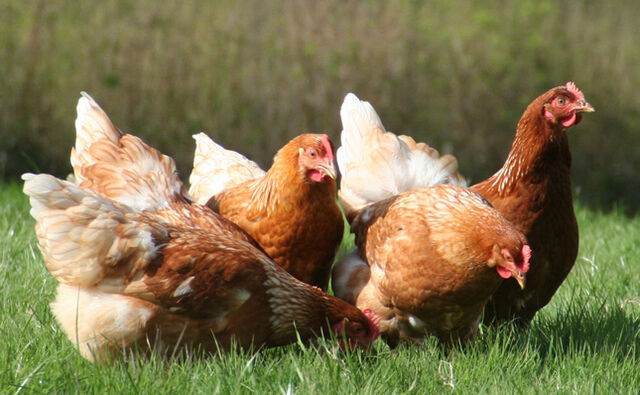 File:CARING-FOR-HENS-AND-FAQ-INTRO-PAGE-IMAGE.jpg
